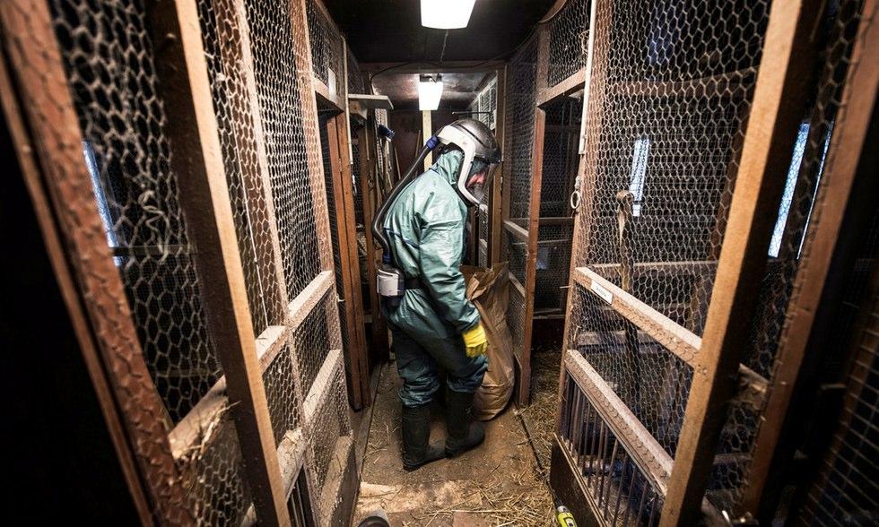 Sanering efter fågelinfluensan har börjat