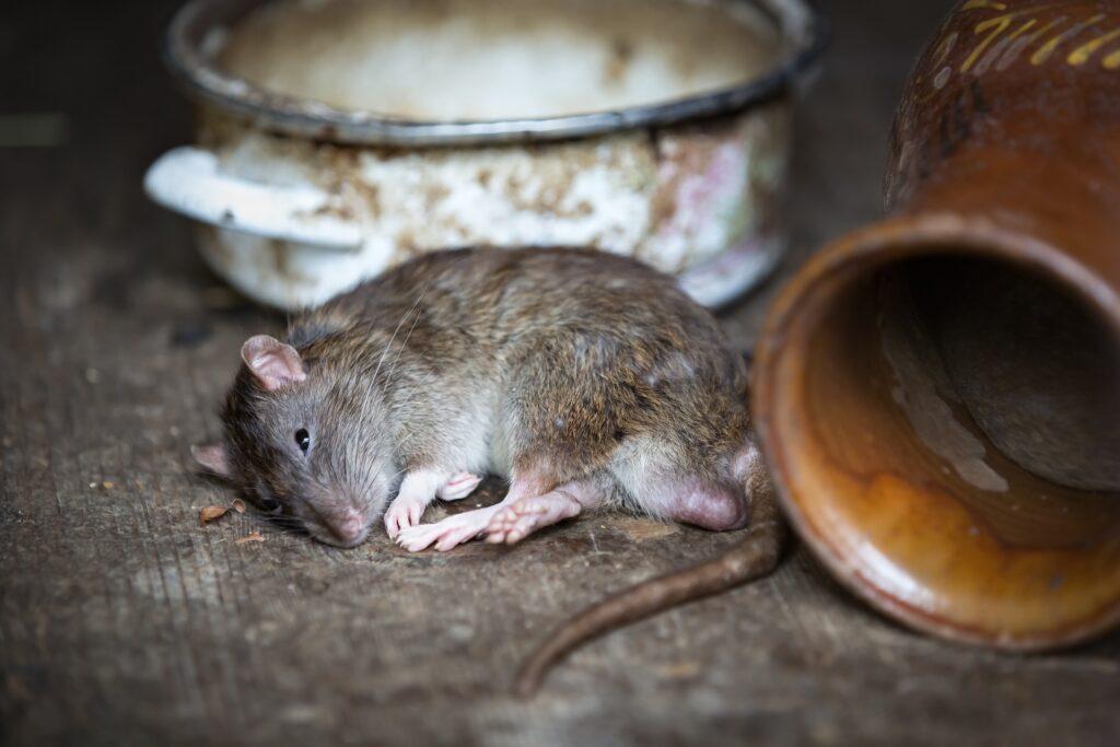 sanering efter råtta