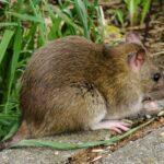 Sanering efter råttor städa